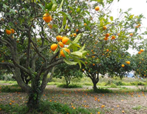 orange citrus grove