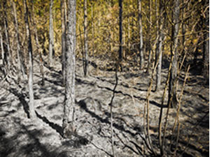 post-fire forest